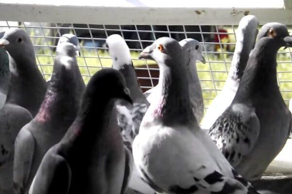 """American Pigeon Racing"" Documentary"